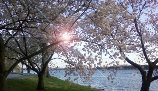『川の周りにはなぜ桜が多いのか?』江戸時代の人が考え抜いた理由から学ぼう