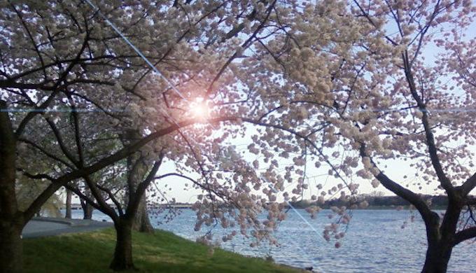 土手になぜ桜を植えているか?